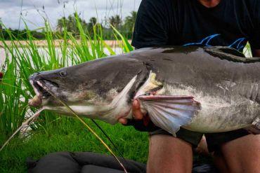 Salween-catfish